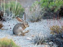 Black-tailed Jackrabbit (Lepus Californicus), Joshua Tree National Park, Mojave Desert, California
