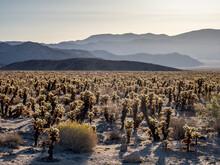 Teddy Bear Cholla (Cylindropuntia Bigelovii), At Sunrise In Joshua Tree National Park, Mojave Desert, California