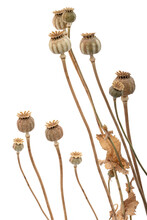Dried Poppy Boxes And Stems, Isolated On White Background