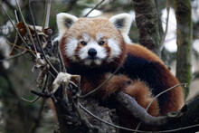 The Red Panda, Ailurus Fulgens, Sits In The Branches And Observes The Surroundings