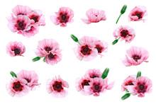 Pink Garden Poppies. Spring- Summer Clip Art On White Background