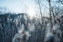 Frozen Grass Reeds