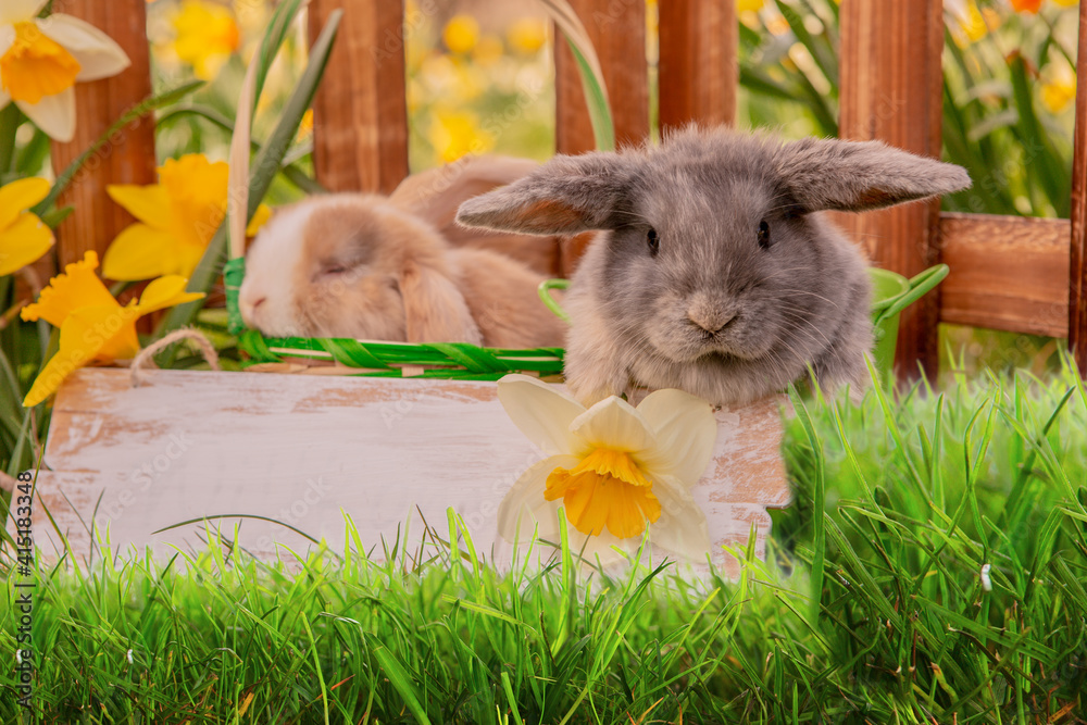 Fototapeta Rabbits, beauty art design of cute little easter bunny in the meadow.Spring flowers and green Grass. Sunbeams.