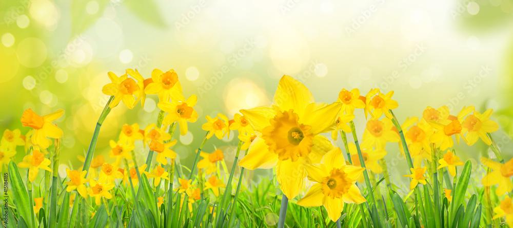 Fototapeta Yellow daffodils in spring background on bokeh blurred green,fresh landscape.