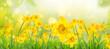 Leinwandbild Motiv Yellow daffodils in spring background on bokeh blurred green,fresh landscape.