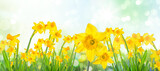 Fototapeta Tulipany - Spring Easter background with beautiful yellow daffodils.