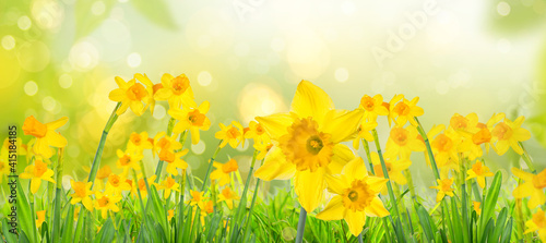 Yellow daffodils in spring background on bokeh blurred green,fresh landscape Fototapeta