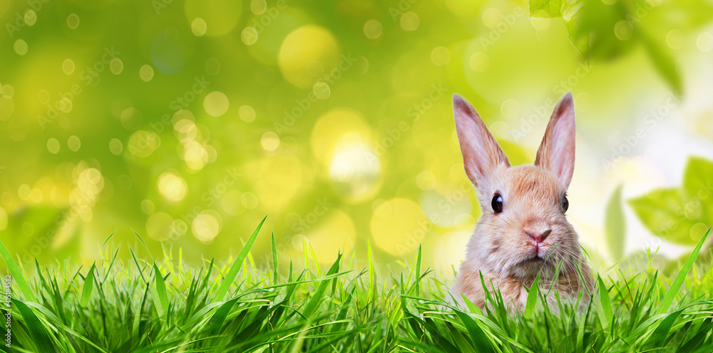 Fototapeta Little rabbit in spring with high easter grass on meadow with long rabbit ears.