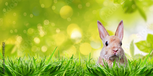 Fototapeta Little rabbit in spring with high easter grass on meadow with long rabbit ears. obraz