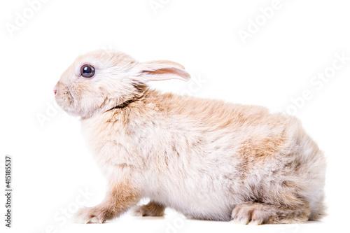 Obraz na plátne Cute little beige rabbit.