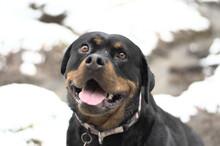 Closeup Shot Of A Cute Rottweiler Dog Face