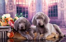 Tvo Weimaraner Puppies; Weimaraner Pointing Dog And Flowers