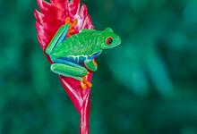 Red Eye Tree Frog On Red Leaf