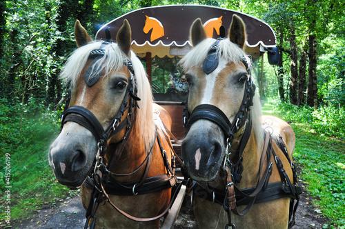 Fototapeta Two Haflinger horses in front of covered wagon obraz