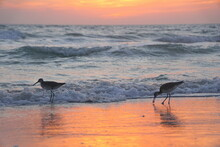 Sanderlings Searching For Food On The Beach During Sunset Near At Madeira Beach, Florida, U.S.A