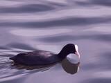 ptak łyska czarny zwierze woda wodny