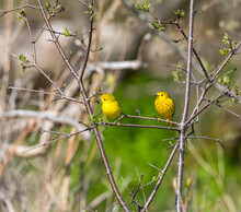 Two Yellow Birds In A Tree