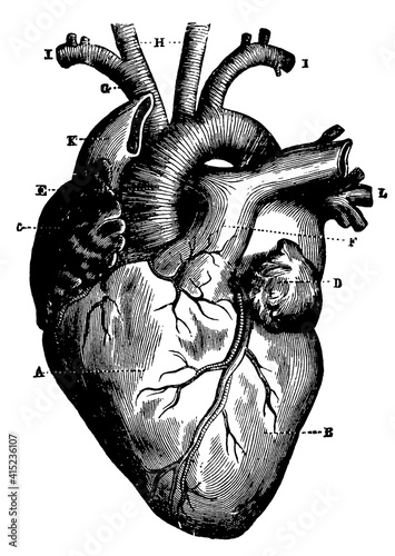 Foto Human heart and vessels which emerge directly from it, seen from the front