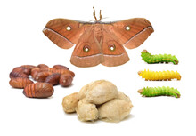 Silk Moth Life Cycle On White Background