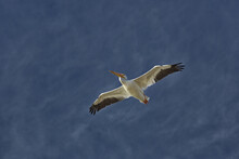 Background Of Sky With Soaring White Pelican In Horizontal Photograph With Copy Space