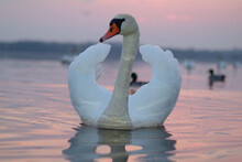 A White Swan Is Floating On The Water. In The Photo, The Swan Is Close-up Against The Background Of The Sunset