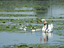 Swan, Bird, Water, White, Lake, Nature, Animal, Swans, Feather, Wildlife, River, Mute, Swimming, Pond, Birds, Beak, Cygnus Olor, Swim, Beauty, Reflection, Blue, Feathers, Family, Wild
