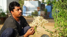Selective Focus On Indian Man Plucking Moringa Oleifera Plant Flowers. White Flowers And Beans Of Morin Tree For Vegetable Purpose.