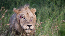 Wounded Lion With Blood On The Face