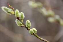 Pussy Willow On The Branch, Blooming Verba In Spring Forest. Palm Sunday Symbol, Twig With Catkins