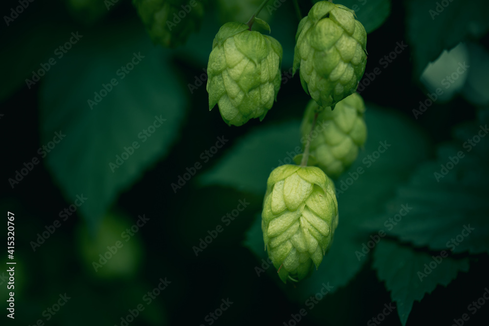 Fototapeta Bunch of green ripe hop cones on a plantation against the dark green background.