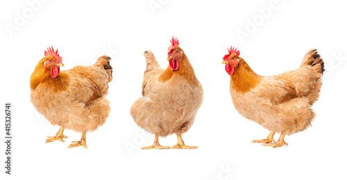 Photo hen standing on white background.