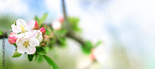 Fototapeta Natural spring background with blooming apple tree. Fresh landscape in the orchard. Gentle white and pink flowers on branch obraz