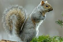 Gray Squirrel (Sciurus Carolinensis) Sitting On A Pine Tree In Wisconsin