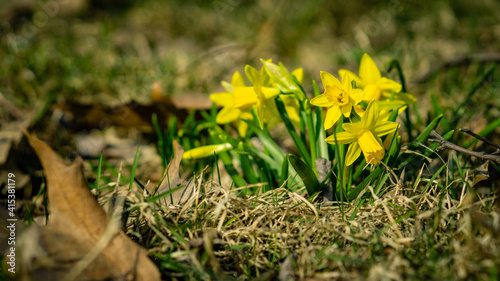 Fototapeta Daffodils on a spring meadow obraz