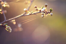 Plum Tree Branch With Flower Buds And Spider With Net - Close Up, Spring Time Warm Background With Warm Sunset Light