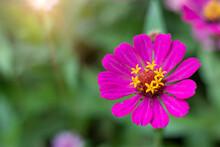 Zinnia (Zinnia Violacea Cav : Asteraceae.),Purple Zinnia Blooming Beautifully In The Morning Sun.