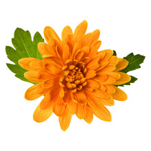 One Chrysanthemum Flower Head With Green Leaves Isolated On White Background Closeup. Garden Flower, No Shadows, Top View, Flat Lay.