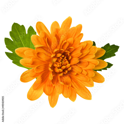 Photo one chrysanthemum flower head with green leaves isolated on white background closeup