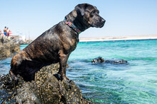 A Mixed Breed Dog Between Boxer And Pitbull On Some Rocks On A Beach