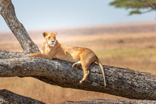 Beautiful Lioness Lying On A Tree Branch In Serengeti, National Park, Tanzania