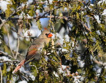 Female Northern Cardinal On Evergreen Tree Covered In Snow, Closeup Portrait In Winter