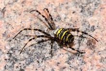 Closeup Shot Of A Yellow-black Striped Spider - Spider-wasp Or Argiope Bruennichi