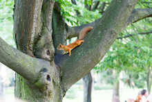 Cute Young Red Squirrel Climbing Trees.