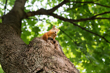 Cute Young Red Squirrel Climbing Trees, Eating, Looking Around.