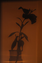 Lily Sunset Shadow