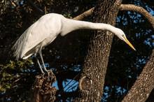 Great Egret (Ardea Alba) Along San Antonio River;   San Antonio, Texas