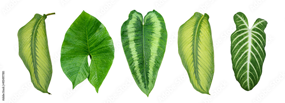 Fototapeta More beautiful exotic tropical leaves, isolated leaf background,clipping path inclu