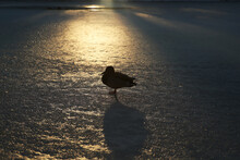 Duck Seating On A Frozen Lake In A Park During Sunset In Winter