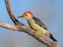Red-bellied Woodpecker Closeup Portrait In Winter On Gray Blue Background