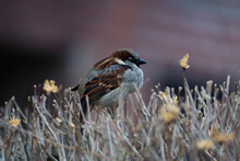 Sparrow Sitting On A Dry Bush In Winter